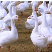 山东潍坊回收成品大鹅图片