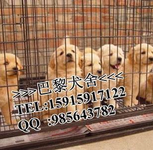 广州巴黎犬舍纯种金毛犬图片