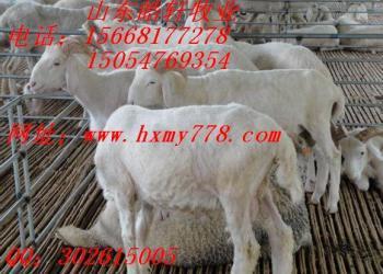 小尾寒羊养殖效益白山羊羊苗图片