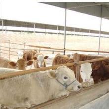 供应黄牛养殖,黄牛价格,黄牛批发,黄牛供应商批发