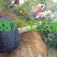 桂林桂花树供货商图片