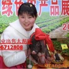 太湖猪养殖技术太湖猪繁育场苏淮猪莱芜黑猪万盛种猪场供应
