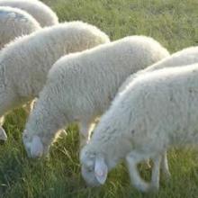 供应波尔山羊效益分析批发