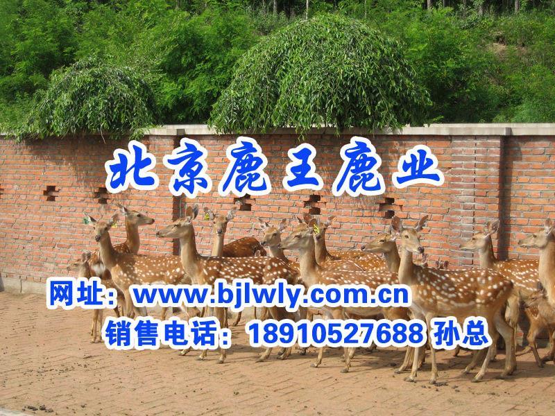 供应梅花鹿母鹿配种期的饲养管理技术