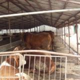 供应西门塔尔肉牛最新价格