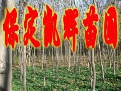供应楸树苗木市场,楸树市场,楸树苗木基地市场,楸树苗木基地出售苗