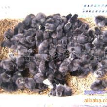 供应云南黑凤鸡苗--h云南最大的珍禽动物种苗黑凤鸡养殖场批发
