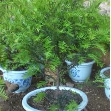 供应树木盆景家庭盆栽红豆杉