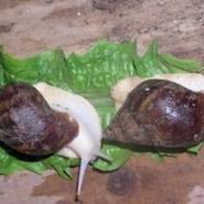 优质白玉蜗牛图片