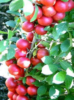 山西优质钙果苗经营商,运城钙果苗繁育基地