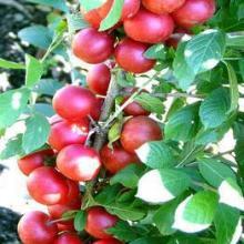 山西优质钙果苗 山西优质钙果苗价格 山西优质钙果苗批发批发