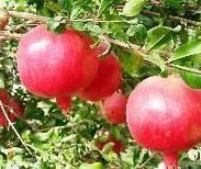 红石榴苗图片