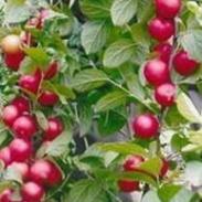钙果苗种植图片
