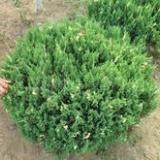 供应用于占地的蜀侩红叶小檗杜梨苗红叶李