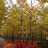 供应百年银杏树价格