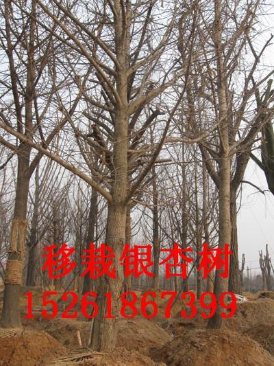 供应关于银杏树价格