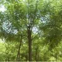 供应10公分国槐树多少钱一棵