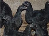 供应绿壳蛋乌鸡的制作方法