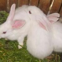 供应养兔种兔肉兔养殖肉兔价格