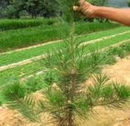 油松苗1米油松苗图片