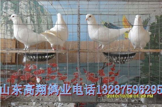 供应沧州肉鸽养殖场图片