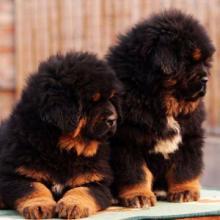 供应藏獒幼犬批发