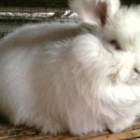 供应长毛兔价格长毛兔养殖场2011长毛兔养殖前景长毛兔价格