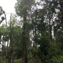 供应胸径30cm香樟树