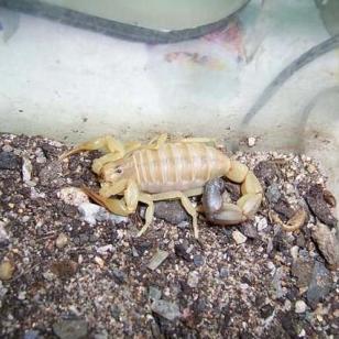 怎样养蝎子蝎子的饲养方法图片