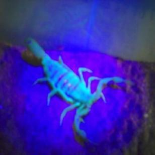 邯郸蝎子1元钱的蝎子你敢买么图片