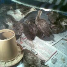 供应浙江蓝孔雀种苗成活率最高的珍禽动物种苗养殖场直销特优质孔雀苗图片