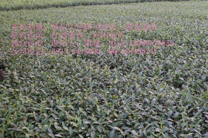 供应用于生产的重庆福鼎茶苗、南川茶苗、永川茶苗