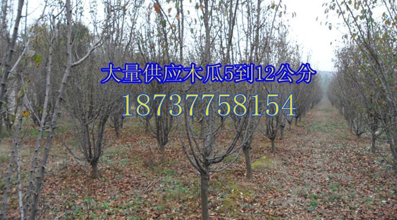 供应低价供应山桃苗一年苗1米到2米