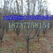 河南南阳市玉兰苗木之乡低价供玉兰图片