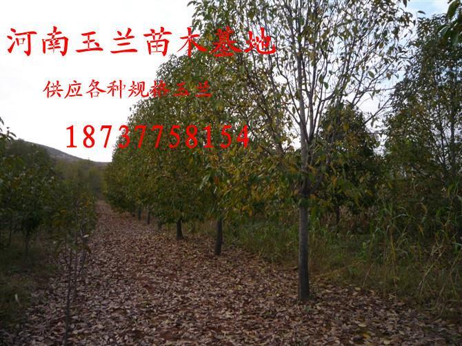 供应山核桃树3到15公分罗根截杆的大量