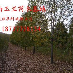 山核桃树3到15公分罗根截杆的大量图片