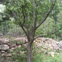 紫玉兰原枝原冠4公分到40公分图片