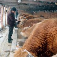 肉牛养殖效益分析波尔山羊种羊价格图片