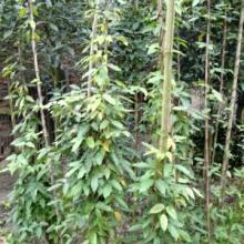 供应成都油麻藤藤本植物常年出售大量图片