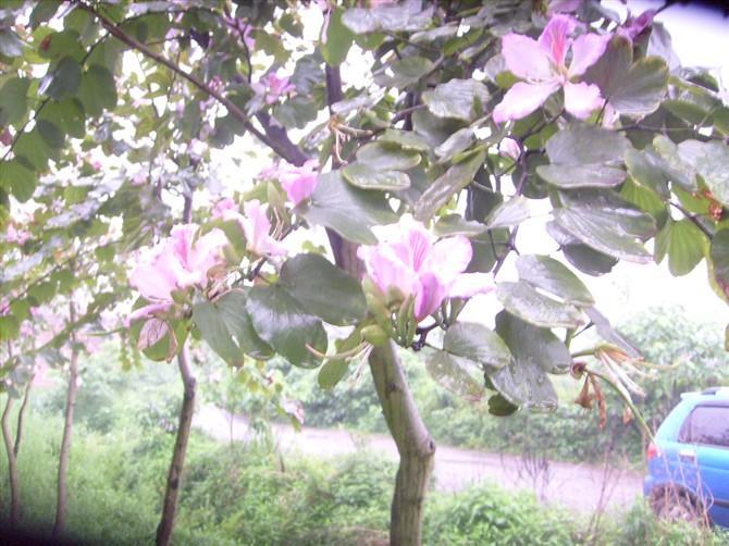 供应预供洋紫荆小苗米径1公分到12公分