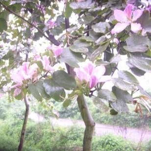 预供洋紫荆小苗米径1公分到12公分图片