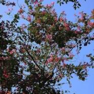 洋紫荆树苗哪里有图片