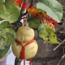 供应人生果树苗