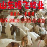 哪的波尔山羊价格最低图片