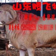 哪的小尾寒羊品种最好图片
