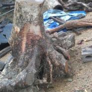 广西桂林楠木大树根价格图片