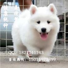 广州萨摩耶价格萨摩耶价钱萨摩犬图片纯种萨摩耶多少钱批发