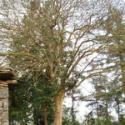 5公分栾树25元在湖北荆州顺欣苗木图片