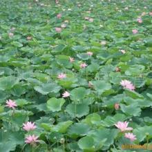 供应广州哪里冻性强园林植物防冻剂卖批发