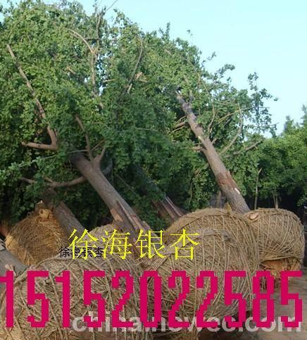 20公分银杏树价格,20年银杏树价格